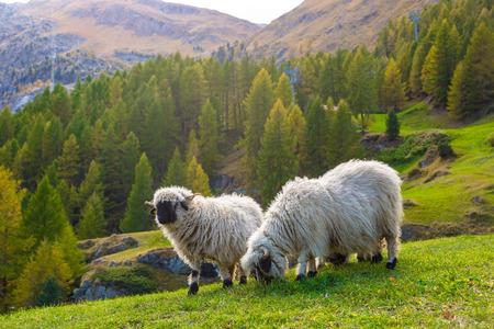 sheep wool: Swiss Alps and Valais blacknose sheep nest to Zermatt  in Switzerland