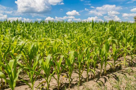 corn rows: Closeup of a field of corn ready for harvest Stock Photo