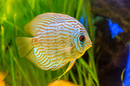 discus: A green beautiful planted tropical freshwater aquarium with colorful tropical fish of the Symphysodon discus spieces Stock Photo