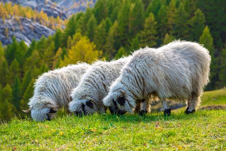 valais: Swiss Alps and Valais blacknose sheep nest to Zermatt  in Switzerland