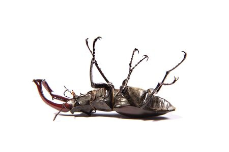 stag: Large, male stag beetle isolated on a white background (Lucanus cervus)