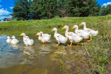 yellow duck: Cute white ducklings swimming on a pond in a summer day