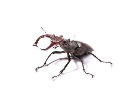lucanus: Large, male stag beetle isolated on a white background (Lucanus cervus)