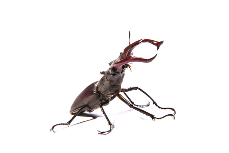 stag horn: Large, male stag beetle isolated on a white background (Lucanus cervus)