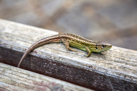 animal viviparous: Small lizard basking in the sun on a wooden background in a summer day Stock Photo