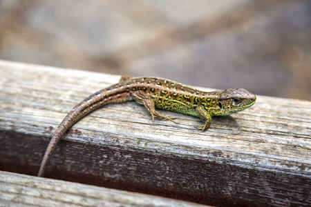 viviparous lizard: Small lizard basking in the sun on a wooden background in a summer day Stock Photo