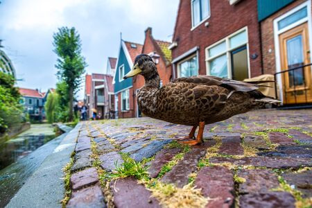 volendam: Duck and traditional houses in Holland town Volendam, Netherlands in a summer day Stock Photo