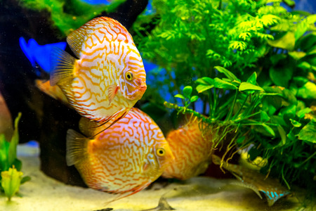 A green beautiful planted tropical freshwater aquarium with colorful tropical fish of the Symphysodon discus spieces Stock Photo