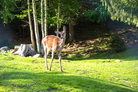 Wild fawn in a forest in a beautiful summer day