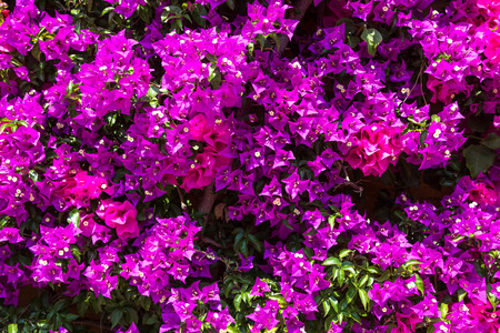 color bougainvillea: Background of purple bougainvillea flowers in a beautiful summer day