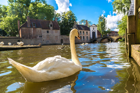 Swan in a canal in Bruges in a beautiful summer day, Belgium