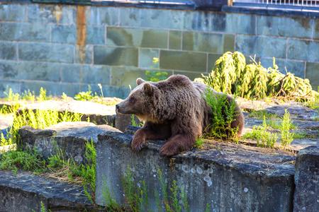 Ours dans la fosse aux ours à Berne dans une belle journée d'été, Suisse Banque d'images