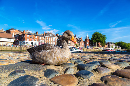 Duck in York in North Yorkshire in a beautiful summer day, England, United Kingdom