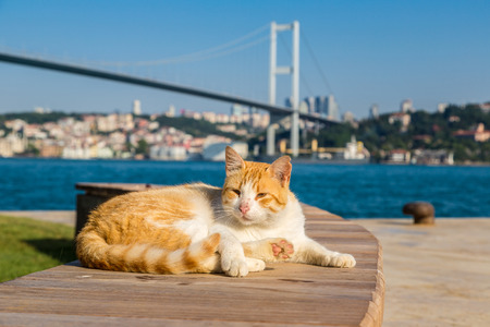 Cat and Bosporus bridge connecting Europe and Asia in Istanbul, Turkey in a beautiful summer day