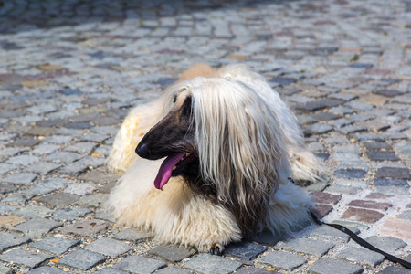 Afghan Hound in a beautiful summer day