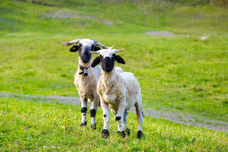 Swiss Alps and Valais blacknose sheep next to Zermatt  in Switzerland  in a summer day