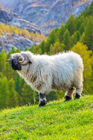 Swiss Alps and Valais blacknose sheep next to Zermatt  in Switzerland  in a summer day