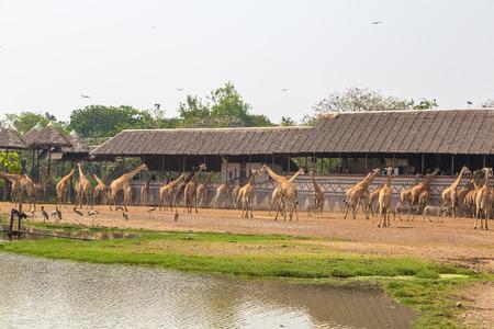 Giraffe in Safari World Zoo in Bangkok in a summer evening