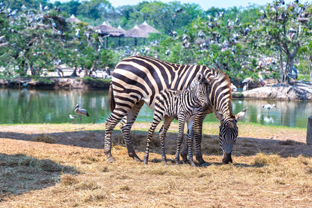 Zebra in Safari World Zoo in Bangkok in a summer day Stok Fotoğraf