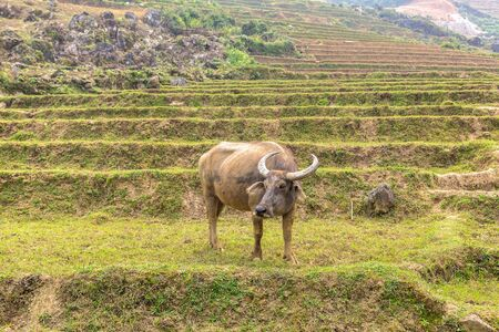 Water Buffalo in Sapa, Lao Cai, Vietnam in a summer day