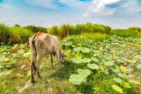 Asian cow at Lotus farm near Siem Reap, Cambodia in a summer day