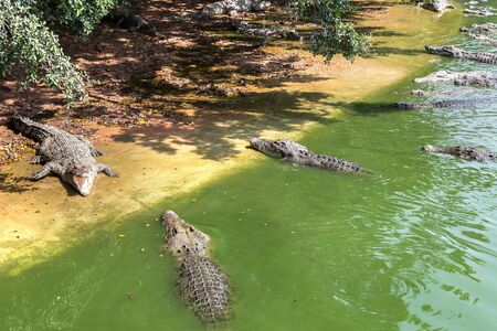 Crocodile in river, Thailand in a summer day