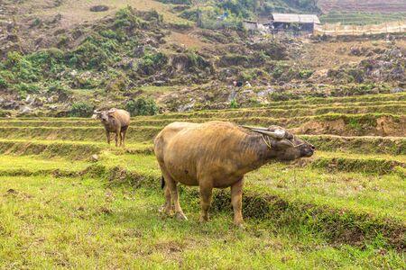 Water Buffalo in Sapa, Lao Cai, Vietnam in a summer day