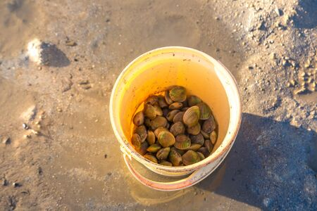 Clams harvested on Koh Phangan island, Thailand in a summer day