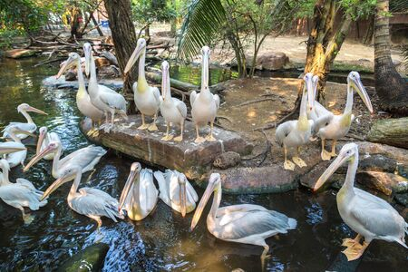 Pelicans  in Bangkok in a summer day