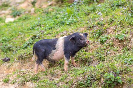 Black pig in Sapa, Lao Cai, Vietnam in a summer day