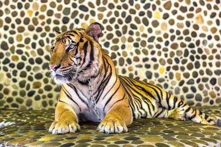 Tiger in zoo in Pattaya, Thailand in a summer day Banque d'images