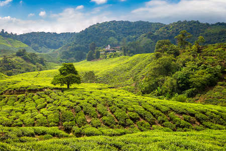 Panoramic view of Tea plantations in a sunny day Фото со стока