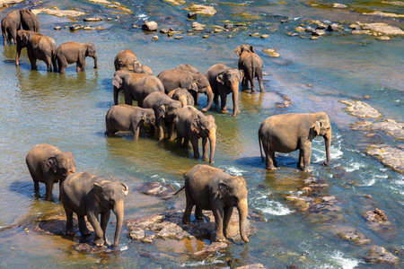 Herd of elephants at the river in Sri Lanka