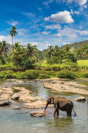 Single elephant in Sri Lanka in a sunny day