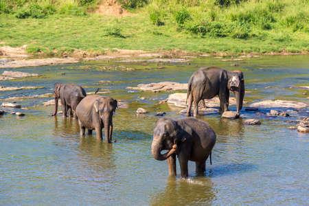 Herd of elephants at the river in Sri Lanka