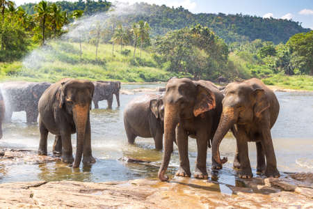 Herd of elephants in Sri Lanka in a summer day