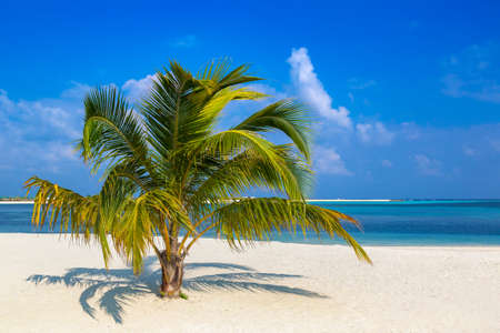 Tropical beach with single coconut palm in a sunny summer day Фото со стока