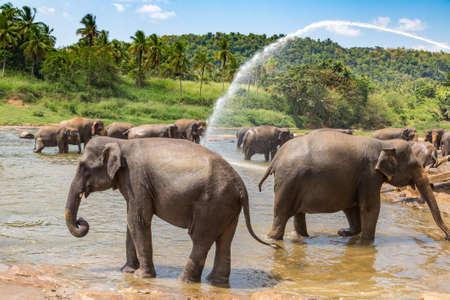 Herd of elephants in Sri Lanka in a summer day