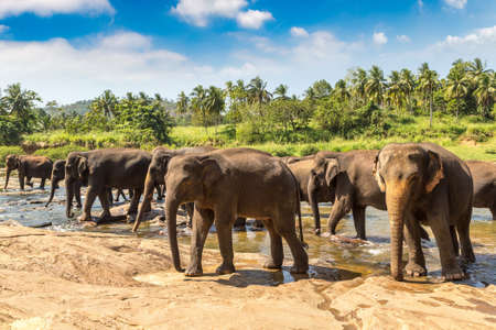 Herd of elephants at the river in central Sri Lanka in a sunny day