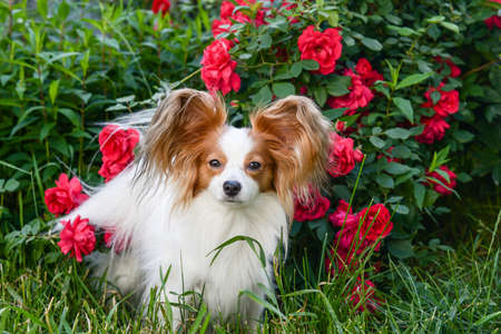Molly posing in garden with roses Stock Photo