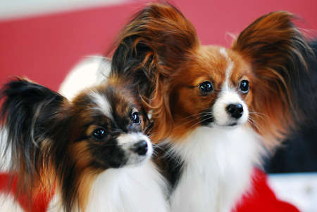 Two papillon looking for friends