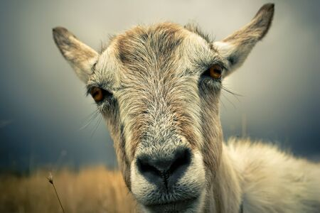 This is a nice portrait of a goat, which looks at you with curiosity. Shallow depth of field with focus on eyes.