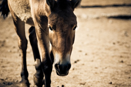 toned image: A portrait of walking stallion. Toned image.