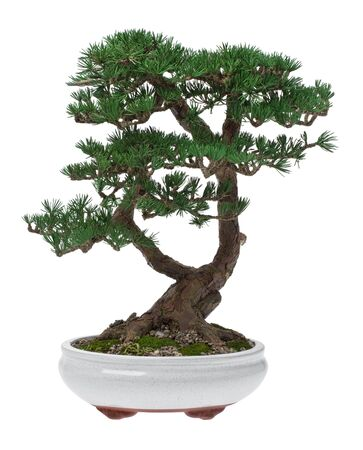 potted: A small bonsai tree in a ceramic pot. Isolated on a white background. Stock Photo