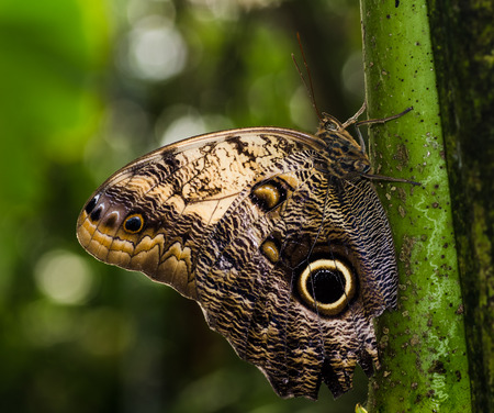 Giant Owl Eyed Moth Caligo oedipus They are found in the rainforests and secondary forests of Mexico, Central, and South America