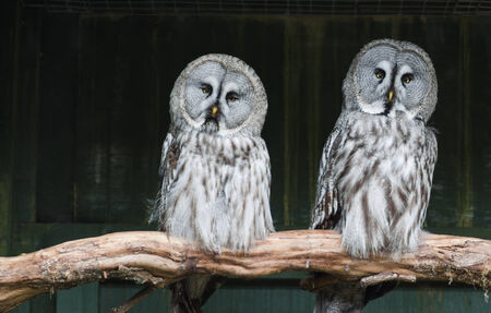 quizzical: Two Great Grey Owls with quizzical expressions Stock Photo