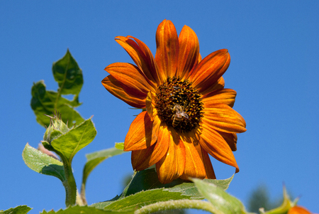 Bright Yellow Sunflower in a Sunny Summer Day. Selective Focus. Ideas for Wallpaper, Posters. End of Summer.