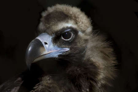 Griffon vulture in zoo hunting photo
