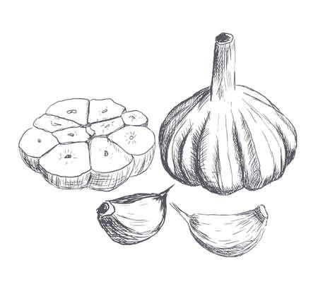 garlic: Hand drawn raw garlic sketch. Vector illustration