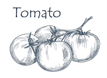 vegetables on white: Hand drawn tomato over white background. Vector
